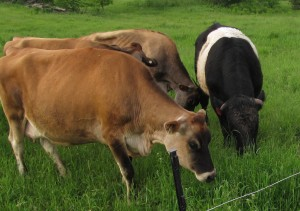 Beef bull and dairy cows